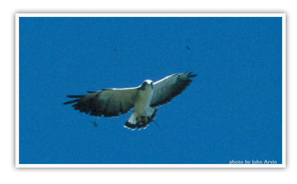 White-tipped Hawk